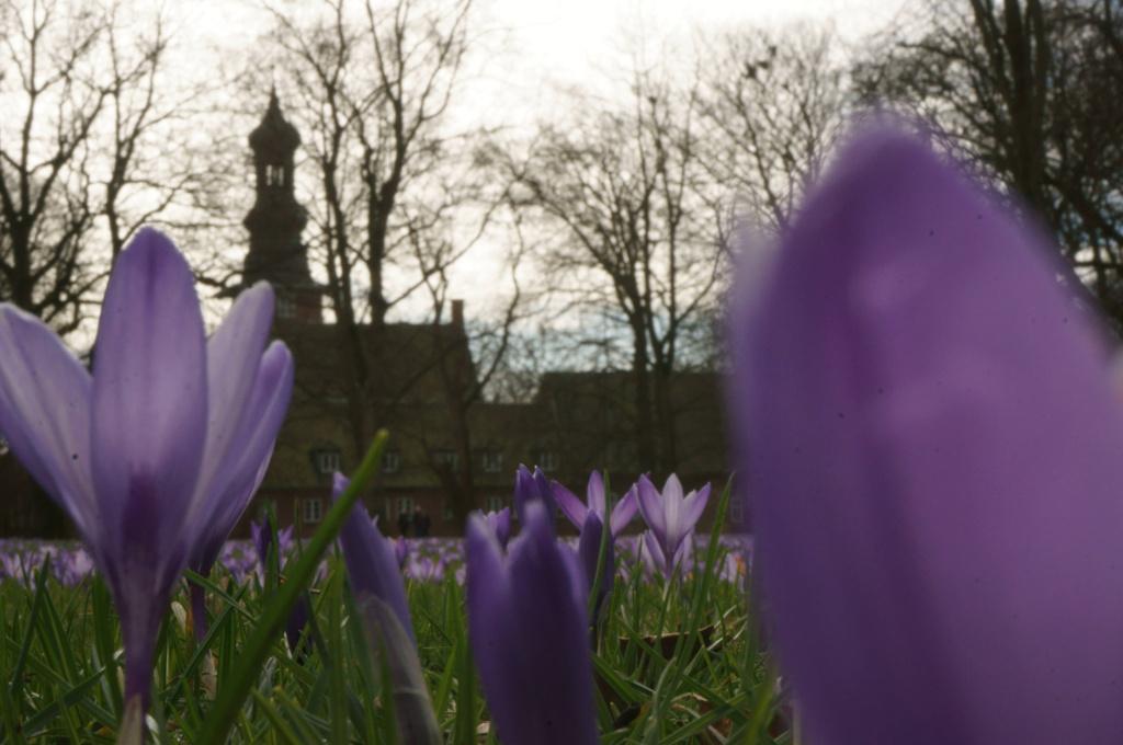 Krokosblüte in Husum, Schlosspark