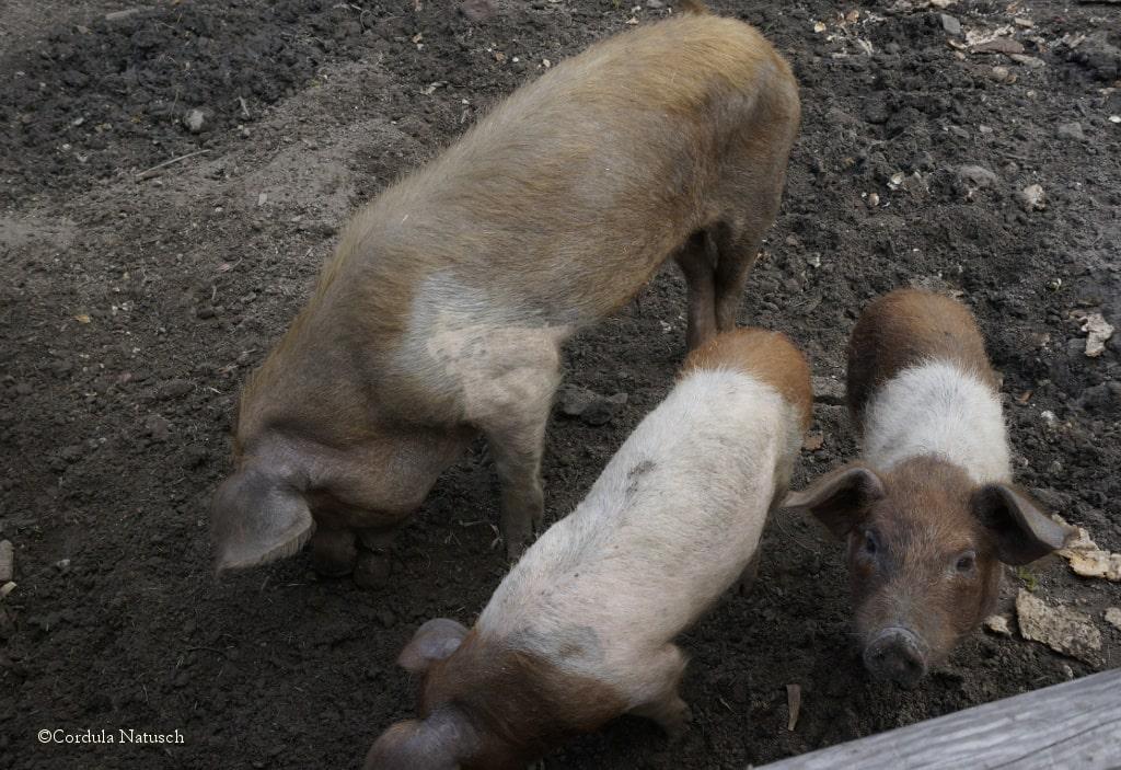 Schweinekoben in den Vierlande
